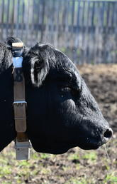 Researchers have attached GPS radio collars to beef bulls at W.A. Ranches to monitor their movements and activities before and during breeding season